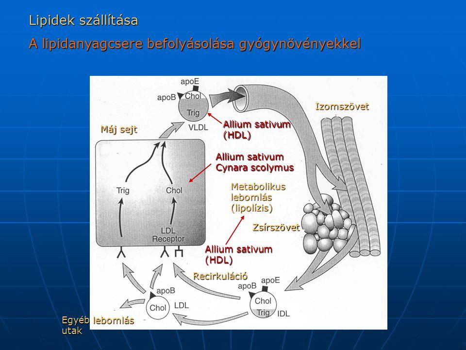 Gyógynövények hatása a koleszterol bioszintézisére májban Hidroximetil glutaril - CoA