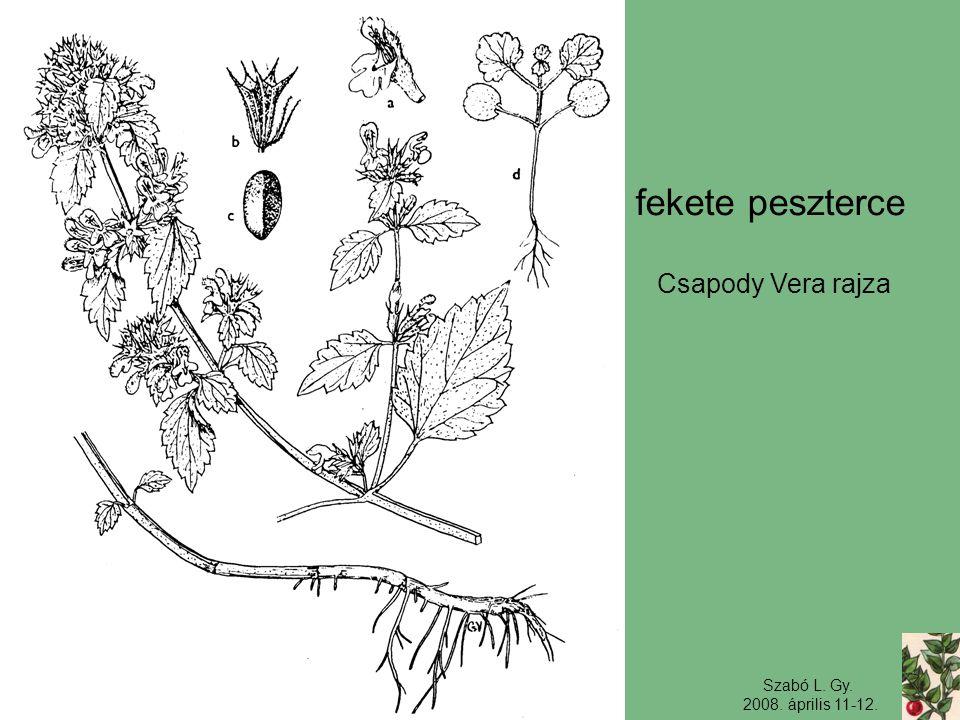 Szabó L. Gy. 2008. április 11-12. fekete peszterce Csapody Vera rajza