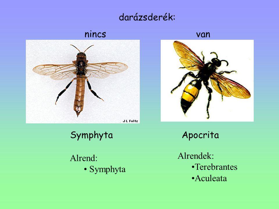 Symphyta Apocrita darázsderék: nincs van Alrendek: Terebrantes Aculeata Alrend: Symphyta