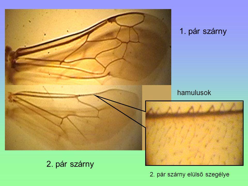 hamulusok 1. pár szárny 2. pár szárny 2. pár szárny elülső szegélye