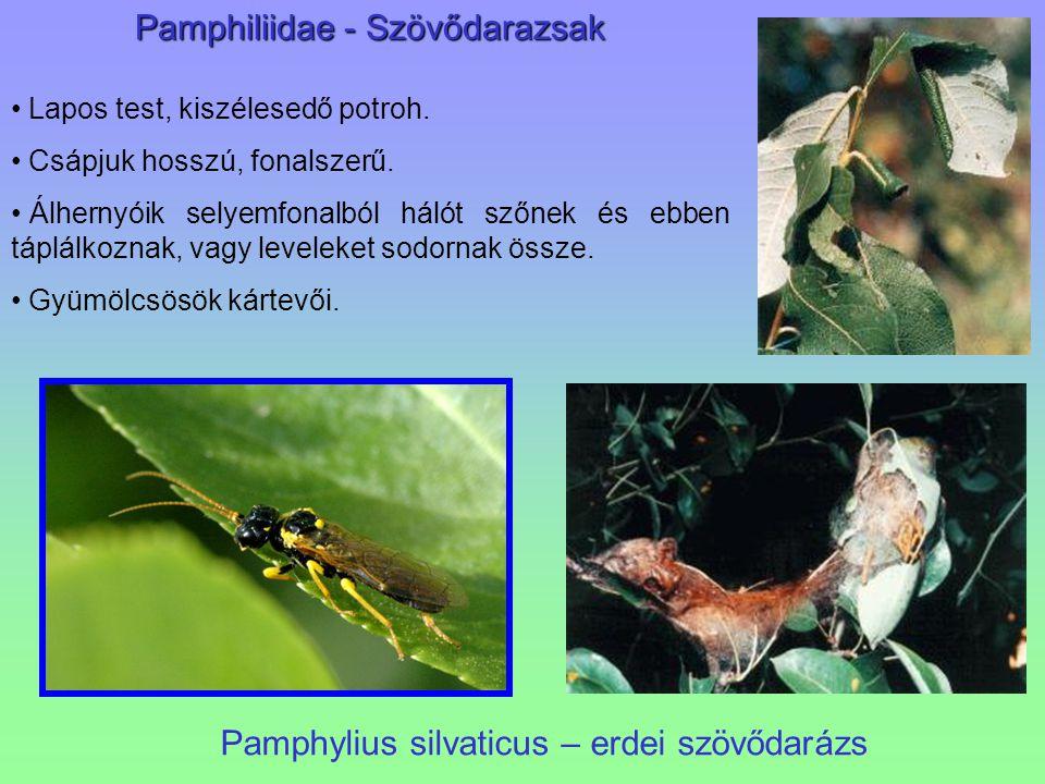 Pamphylius silvaticus – erdei szövődarázs Pamphiliidae - Szövődarazsak Lapos test, kiszélesedő potroh. Csápjuk hosszú, fonalszerű. Álhernyóik selyemfo