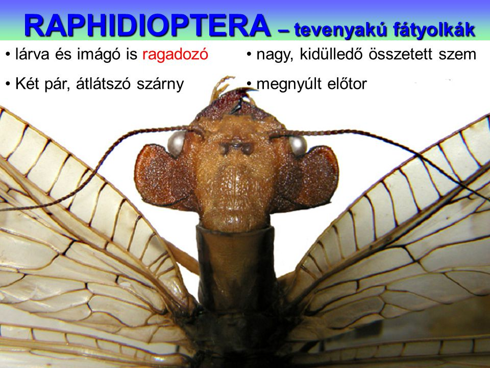 RAPHIDIOPTERA – tevenyakú fátyolkák lárva és imágó is ragadozó Két pár, átlátszó szárny nagy, kidülledő összetett szem megnyúlt előtor