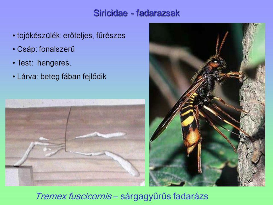 Siricidae - fadarazsak Tremex fuscicornis – sárgagyűrűs fadarázs tojókészülék: erőteljes, fűrészes Csáp: fonalszerű Test: hengeres. Lárva: beteg fában