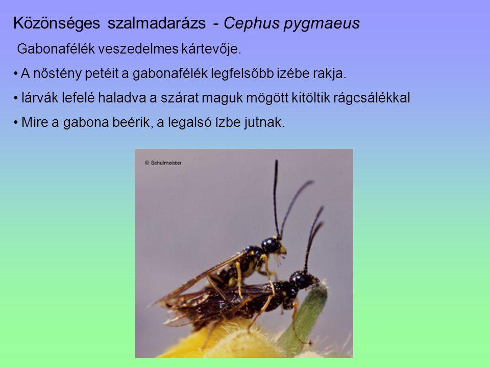 Közönséges szalmadarázs - Cephus pygmaeus Gabonafélék veszedelmes kártevője. A nőstény petéit a gabonafélék legfelsőbb izébe rakja. lárvák lefelé hala