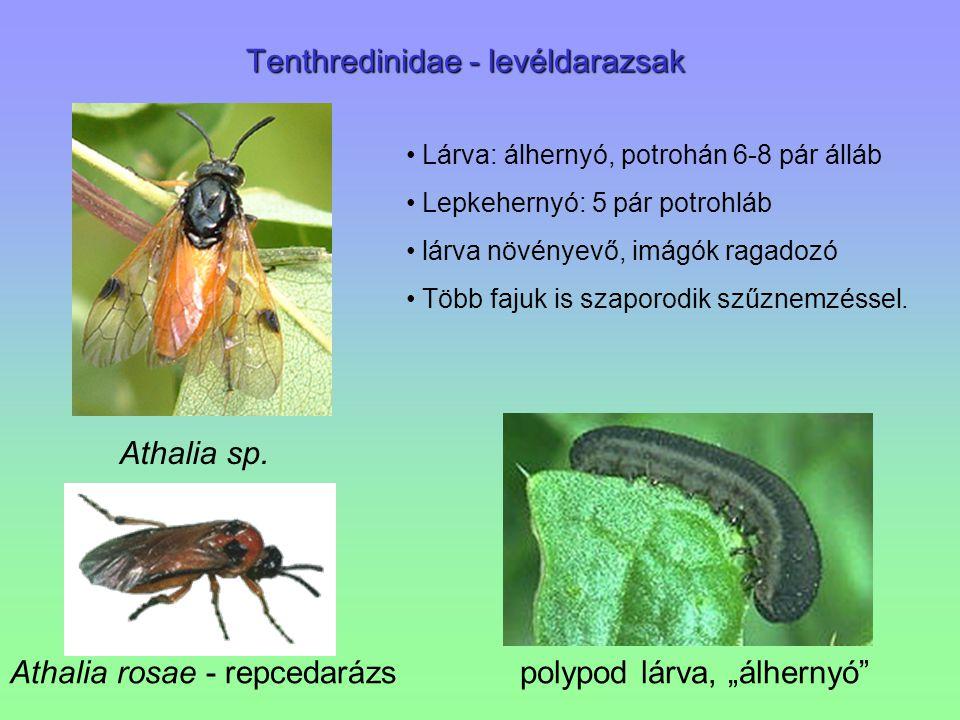 """Tenthredinidae - levéldarazsak Athalia rosae - repcedarázspolypod lárva, """"álhernyó"""" Athalia sp. Lárva: álhernyó, potrohán 6-8 pár álláb Lepkehernyó: 5"""