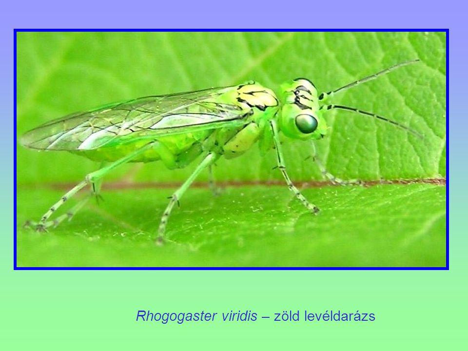 Rhogogaster viridis – zöld levéldarázs