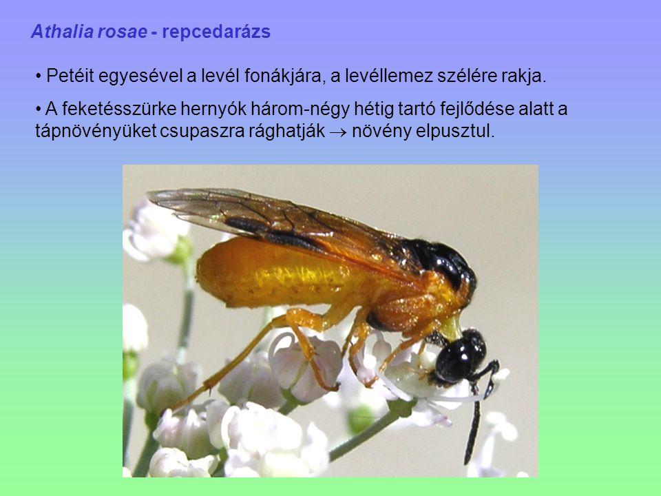 Athalia rosae - repcedarázs Petéit egyesével a levél fonákjára, a levéllemez szélére rakja. A feketésszürke hernyók három-négy hétig tartó fejlődése a