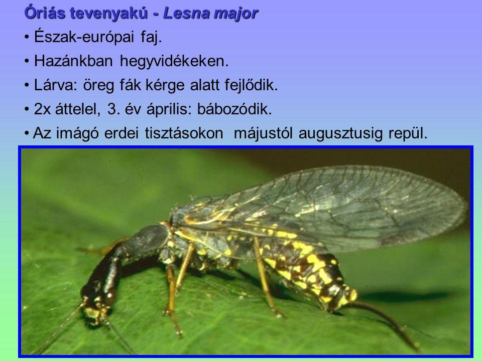 Óriás tevenyakú - Lesna major Észak-európai faj. Hazánkban hegyvidékeken. Lárva: öreg fák kérge alatt fejlődik. 2x áttelel, 3. év április: bábozódik.