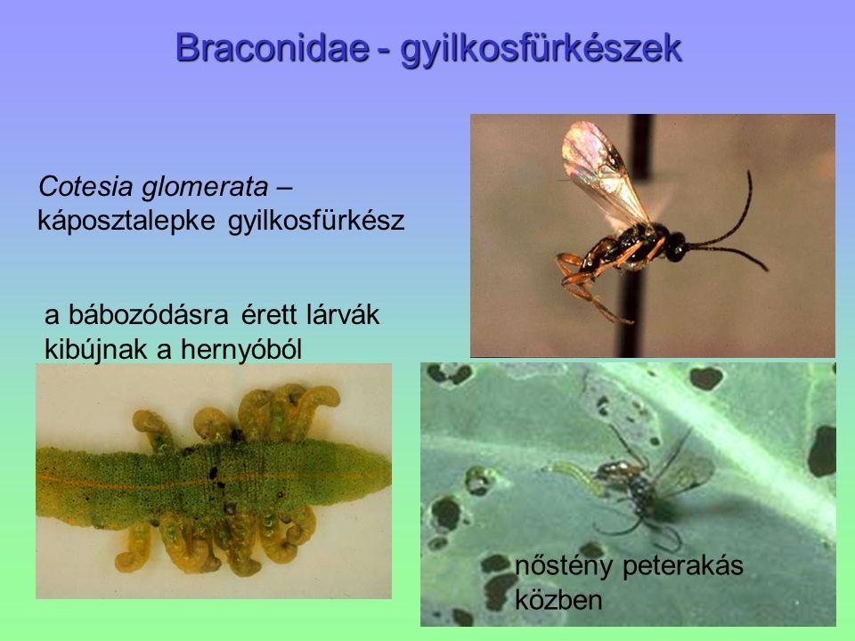 Braconidae - gyilkosfürkészek Cotesia glomerata – káposztalepke gyilkosfürkész a bábozódásra érett lárvák kibújnak a hernyóból nőstény peterakás közbe