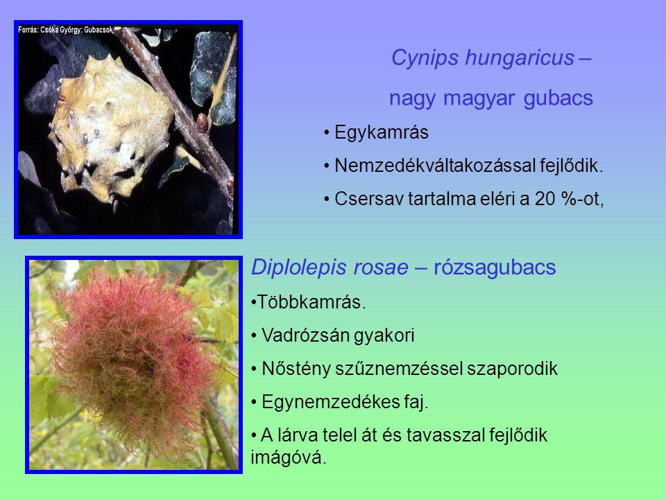 Cynips hungaricus – nagy magyar gubacs Egykamrás Nemzedékváltakozással fejlődik. Csersav tartalma eléri a 20 %-ot, Diplolepis rosae – rózsagubacs Több