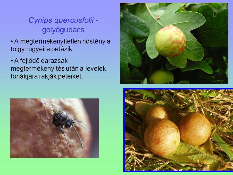 Cynips quercusfolii - golyógubacs A megtermékenyítetlen nőstény a tölgy rügyeire petézik. A fejlődő darazsak megtermékenyítés után a levelek fonákjára