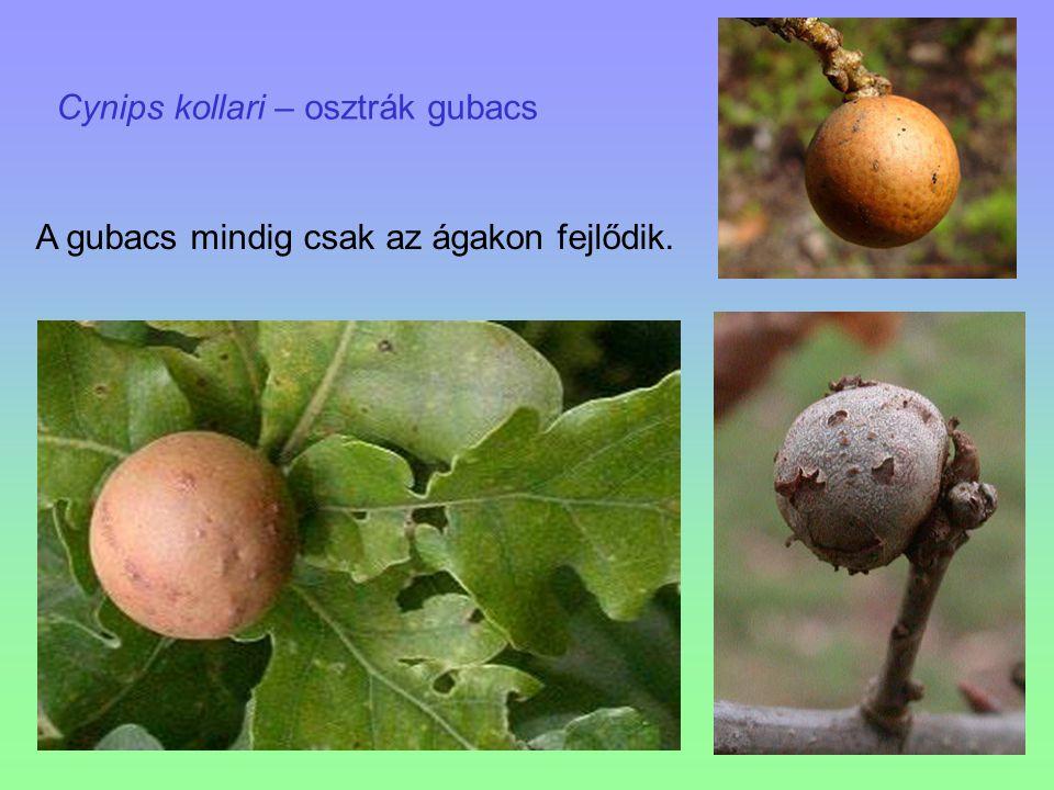Cynips kollari – osztrák gubacs A gubacs mindig csak az ágakon fejlődik.