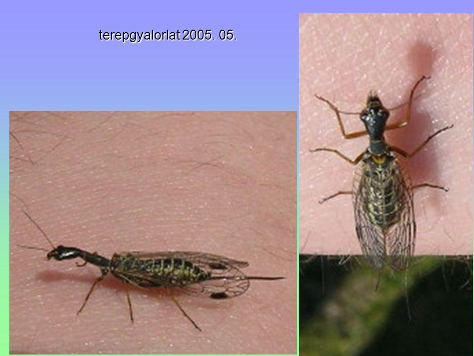 """Tenthredinidae - levéldarazsak Athalia rosae - repcedarázspolypod lárva, """"álhernyó Athalia sp."""