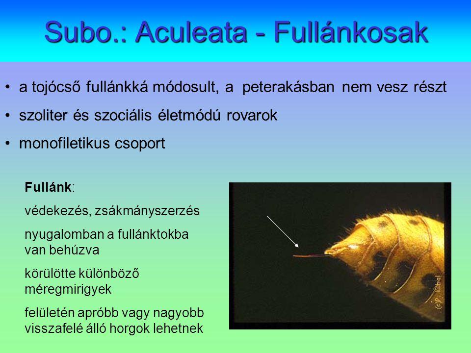 Subo.: Aculeata - Fullánkosak a tojócső fullánkká módosult, a peterakásban nem vesz részt szoliter és szociális életmódú rovarok monofiletikus csoport