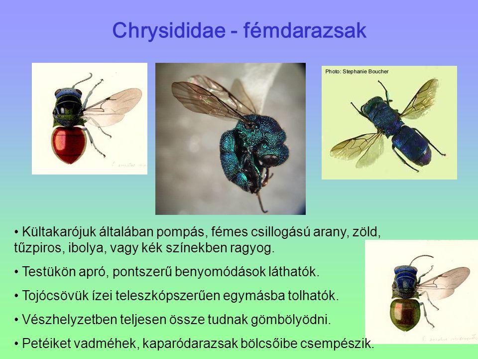 Chrysididae - fémdarazsak Kültakarójuk általában pompás, fémes csillogású arany, zöld, tűzpiros, ibolya, vagy kék színekben ragyog. Testükön apró, pon