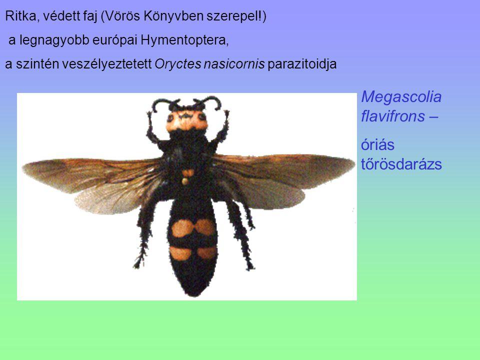 Megascolia flavifrons – óriás tőrösdarázs Ritka, védett faj (Vörös Könyvben szerepel!) a legnagyobb európai Hymentoptera, a szintén veszélyeztetett Or