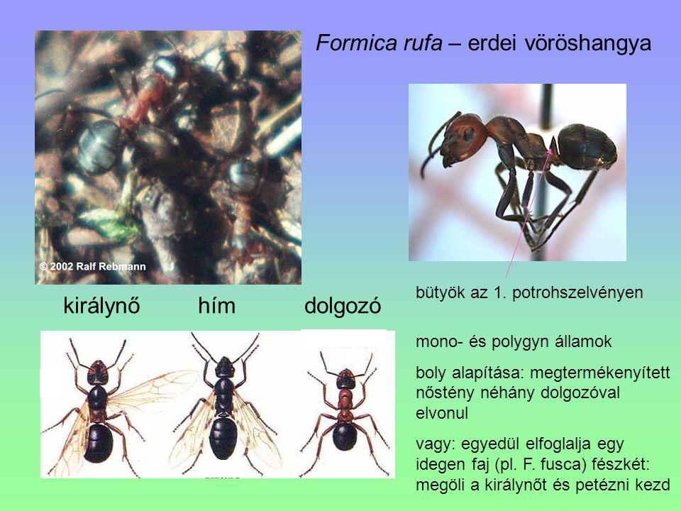 Formica rufa – erdei vöröshangya királynő hím dolgozó bütyök az 1. potrohszelvényen mono- és polygyn államok boly alapítása: megtermékenyített nőstény