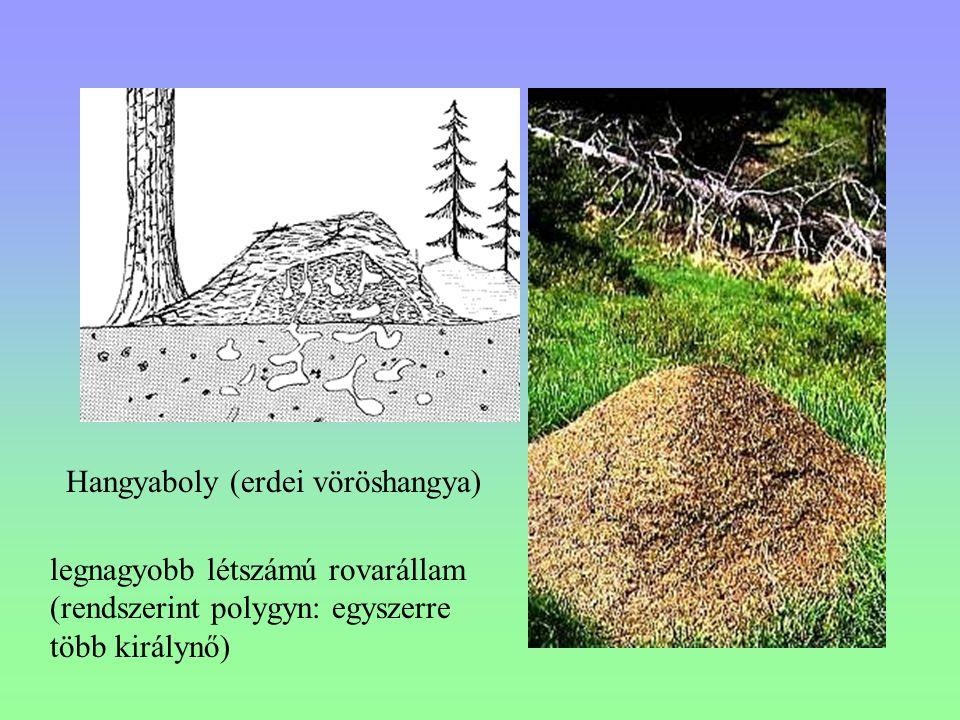 Hangyaboly (erdei vöröshangya) legnagyobb létszámú rovarállam (rendszerint polygyn: egyszerre több királynő)