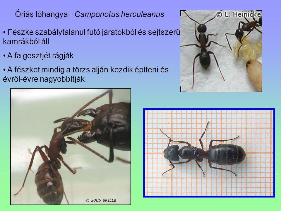 Óriás lóhangya - Camponotus herculeanus Fészke szabálytalanul futó járatokból és sejtszerű kamrákból áll. A fa gesztjét rágják. A fészket mindig a tör