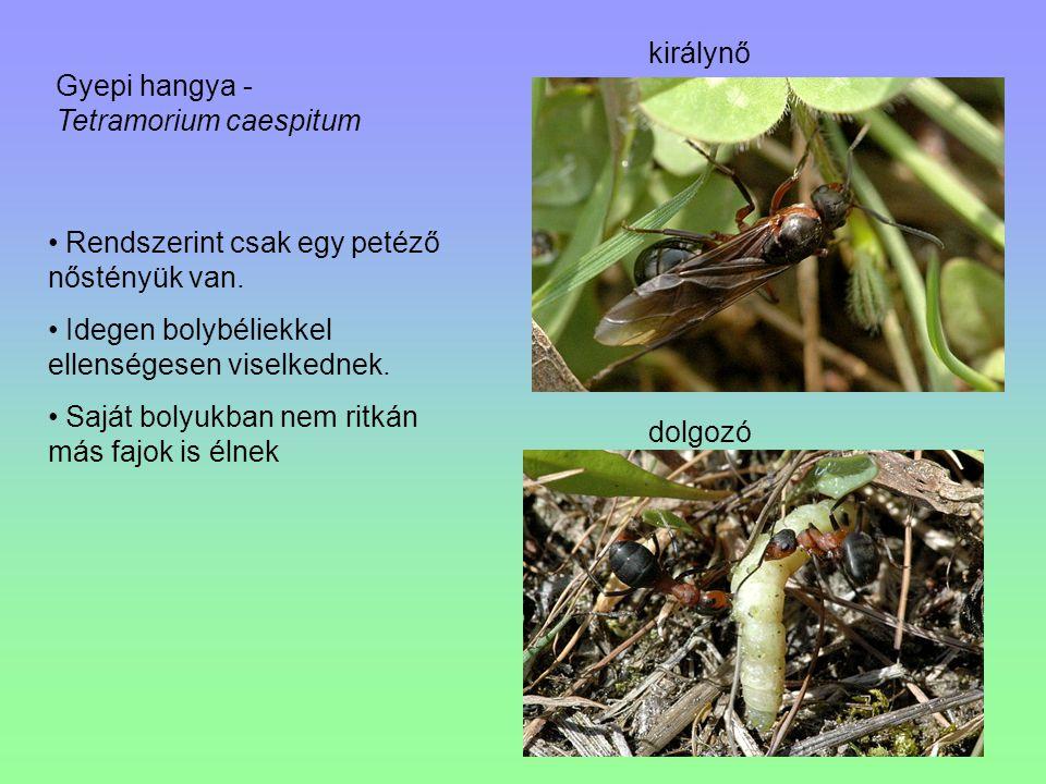királynő dolgozó Gyepi hangya - Tetramorium caespitum Rendszerint csak egy petéző nőstényük van. Idegen bolybéliekkel ellenségesen viselkednek. Saját