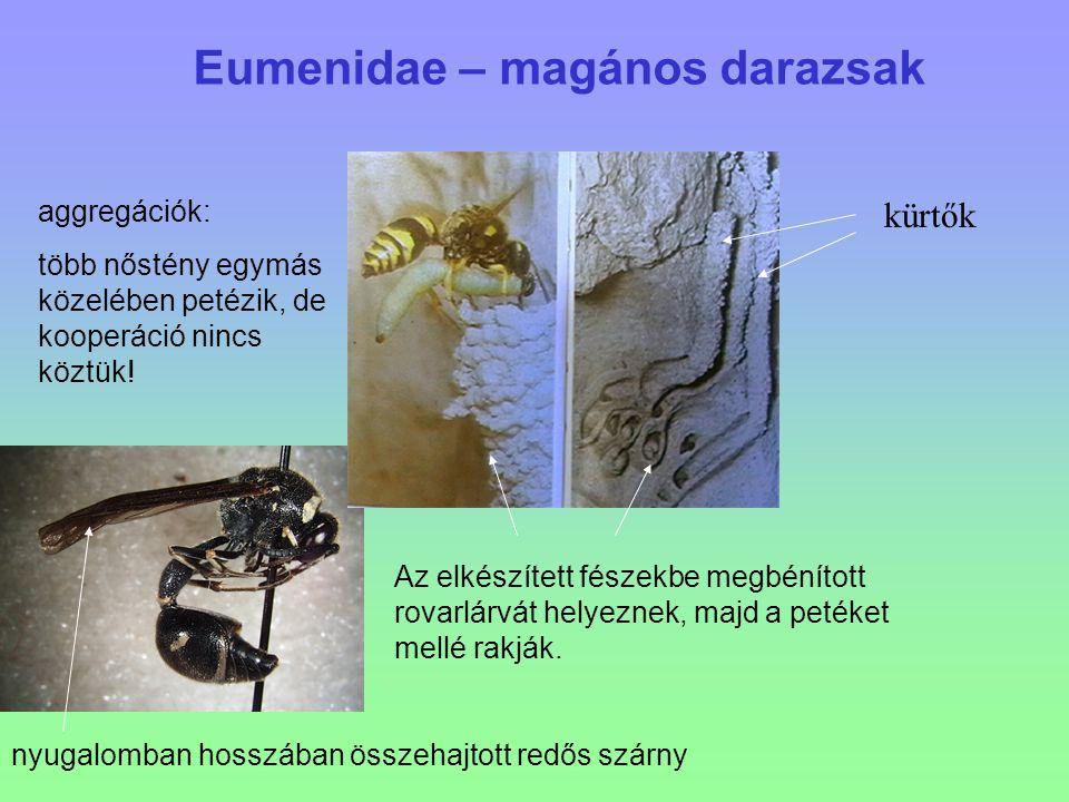 Eumenidae – magános darazsak nyugalomban hosszában összehajtott redős szárny aggregációk: több nőstény egymás közelében petézik, de kooperáció nincs k