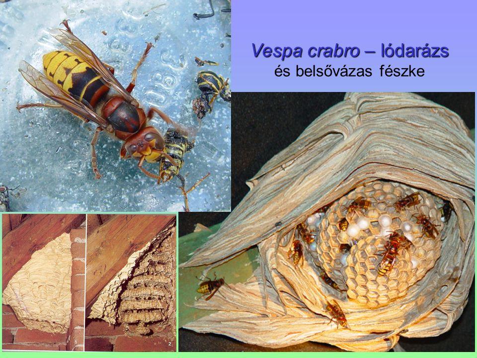 Vespa crabro – lódarázs és belsővázas fészke
