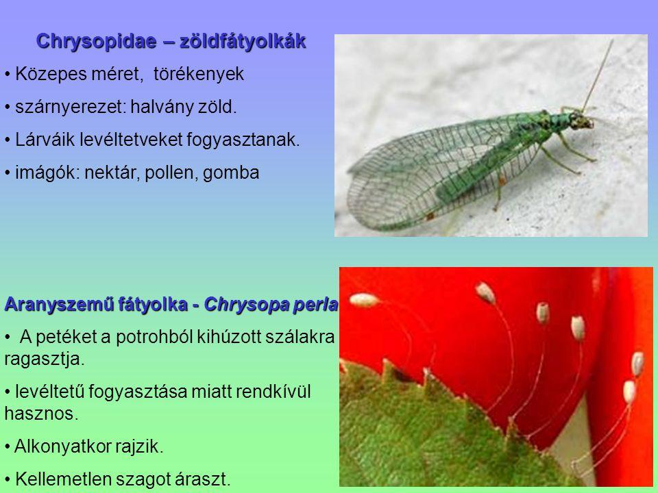 Chrysopidae – z öldfátyolkák Közepes méret, törékenyek szárnyerezet: halvány zöld. Lárváik levéltetveket fogyasztanak. imágók: nektár, pollen, gomba A