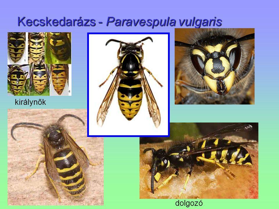 Kecskedarázs - Paravespula vulgaris királynők dolgozó