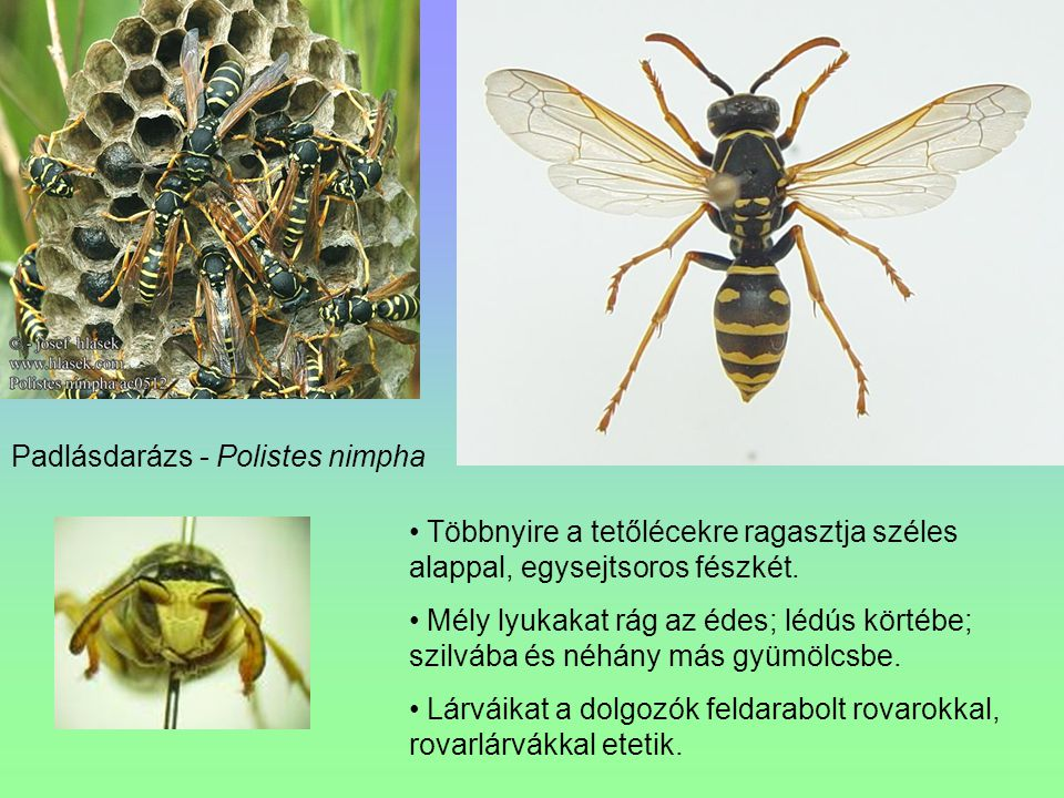Padlásdarázs - Polistes nimpha Többnyire a tetőlécekre ragasztja széles alappal, egysejtsoros fészkét. Mély lyukakat rág az édes; lédús körtébe; szilv