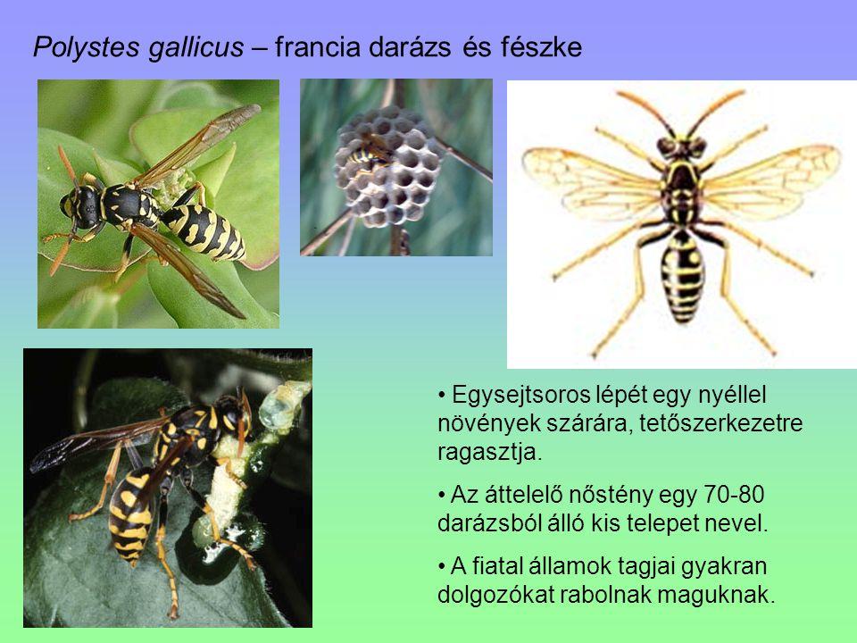 Polystes gallicus – francia darázs és fészke Egysejtsoros lépét egy nyéllel növények szárára, tetőszerkezetre ragasztja. Az áttelelő nőstény egy 70-80