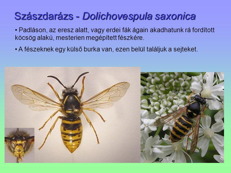 Szászdarázs - Dolichovespula saxonica Padláson, az eresz alatt, vagy erdei fák ágain akadhatunk rá fordított köcsög alakú, mesterien megépített fészké