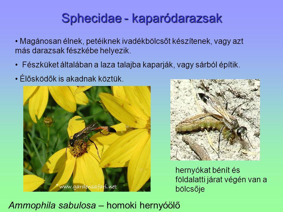 Sphecidae - kaparódarazsak Ammophila sabulosa – homoki hernyóölő hernyókat bénít és földalatti járat végén van a bölcsője Magánosan élnek, petéiknek i