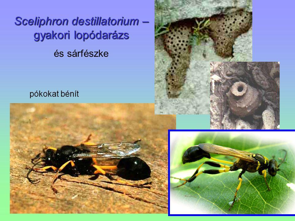 Sceliphron destillatorium – gyakori lopódarázs és sárfészke pókokat bénít