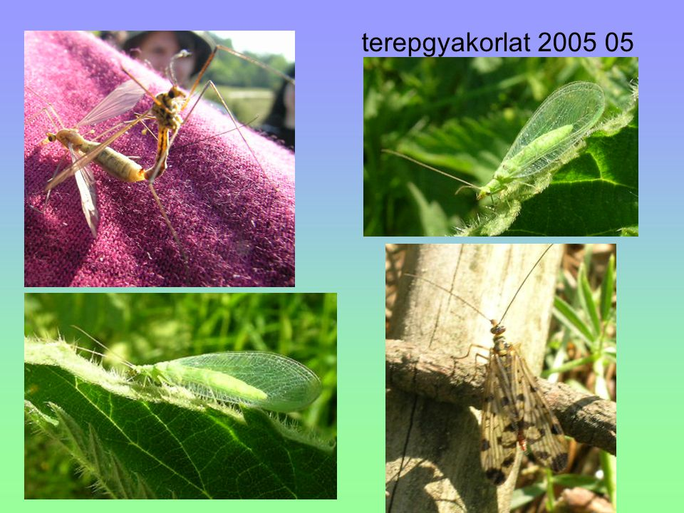 """Subo: Symphyta - Növényevő darazsak a potroh széles alapon ízesül a torhoz ősi, parafiletikus, fajokban a többinél szegényebb csoport ősi bélyegek: gazdag szárnyerezet, növényevők gyengén repülnek tojócsövük oldalirányban lapított, fűrészes polypod lárva (""""álhernyó ) több mező- ill."""