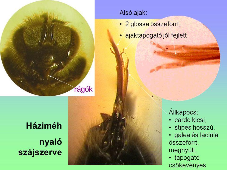 Háziméh nyaló szájszerve Alsó ajak: 2 glossa összeforrt, ajaktapogató jól fejlett rágók Állkapocs: cardo kicsi, stipes hosszú, galea és lacinia összef