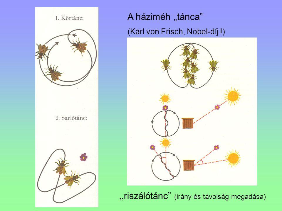 """A háziméh """"tánca"""" (Karl von Frisch, Nobel-díj !) """" riszálótánc"""" (irány és távolság megadása)"""