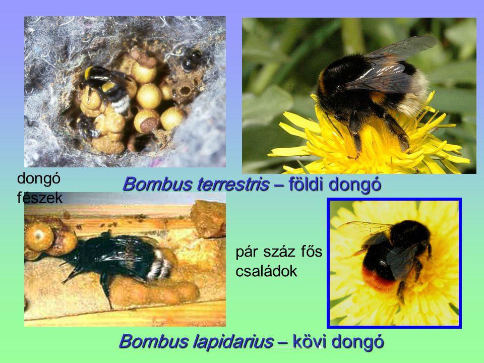 Bombus terrestris – földi dongó Bombus lapidarius – kövi dongó dongó fészek pár száz fős családok