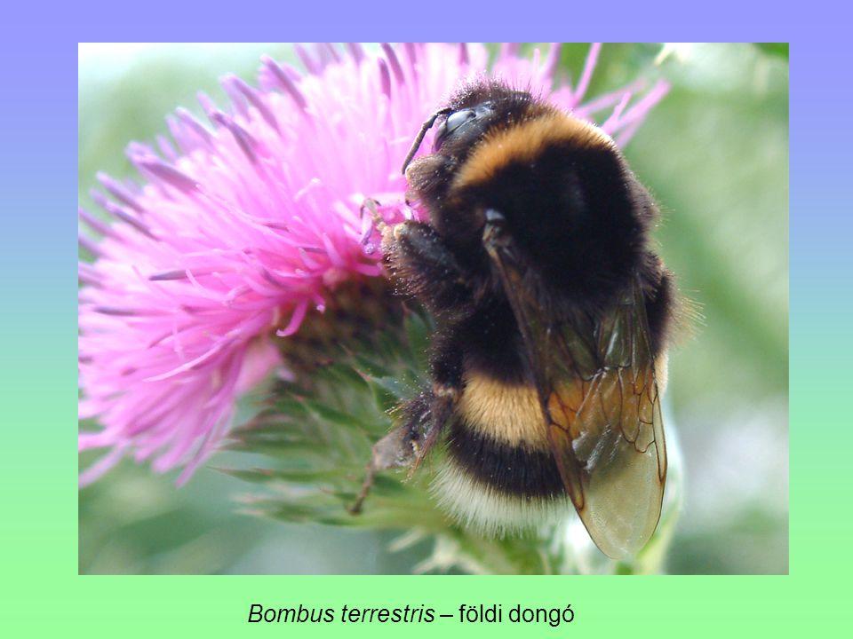 Bombus terrestris – földi dongó