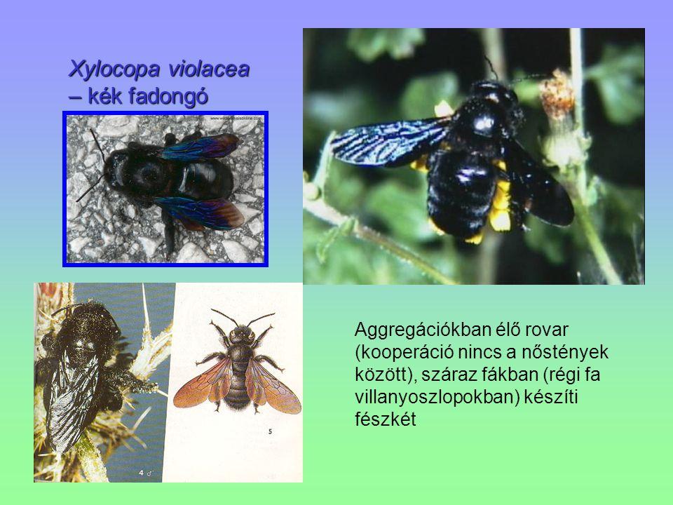 Xylocopa violacea – kék fadongó Aggregációkban élő rovar (kooperáció nincs a nőstények között), száraz fákban (régi fa villanyoszlopokban) készíti fés