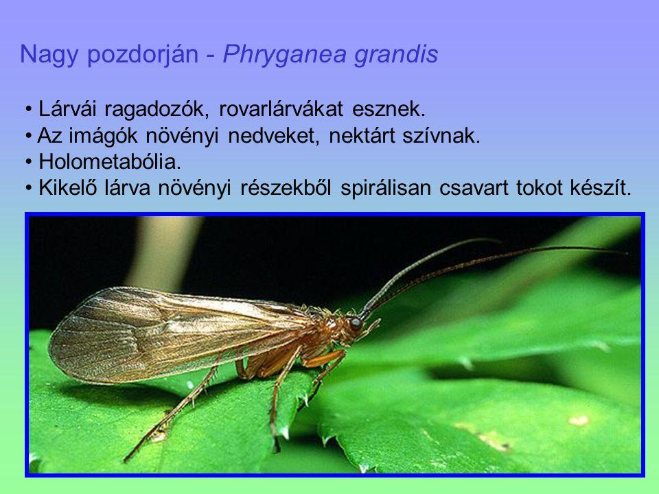 Nagy pozdorján - Phryganea grandis Lárvái ragadozók, rovarlárvákat esznek. Az imágók növényi nedveket, nektárt szívnak. Holometabólia. Kikelő lárva nö