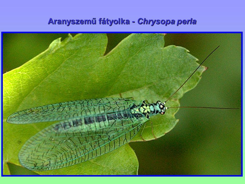 Hangyalesők – Myrmeleontidae Hangyalesők – Myrmeleontidae Végükön megvastagodott, bunkós csáp, nagy szemek.