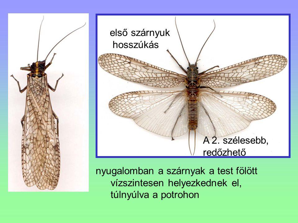nyugalomban a szárnyak a test fölött vízszintesen helyezkednek el, túlnyúlva a potrohon első szárnyuk hosszúkás A 2. szélesebb, redőzhető