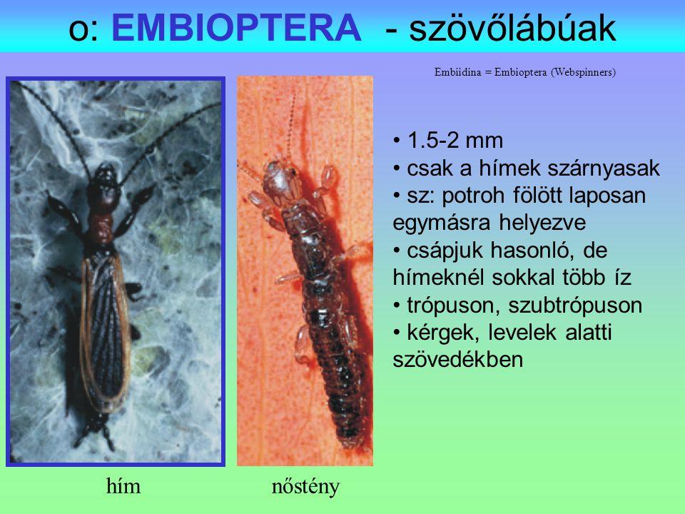 Embiidina = Embioptera (Webspinners) o: EMBIOPTERA - szövőlábúak 1.5-2 mm csak a hímek szárnyasak sz: potroh fölött laposan egymásra helyezve csápjuk