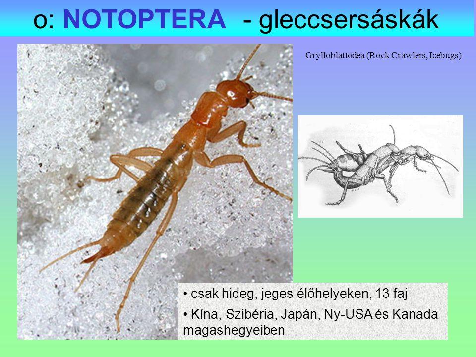 Grylloblattodea (Rock Crawlers, Icebugs) o: NOTOPTERA - gleccsersáskák csak hideg, jeges élőhelyeken, 13 faj Kína, Szibéria, Japán, Ny-USA és Kanada m