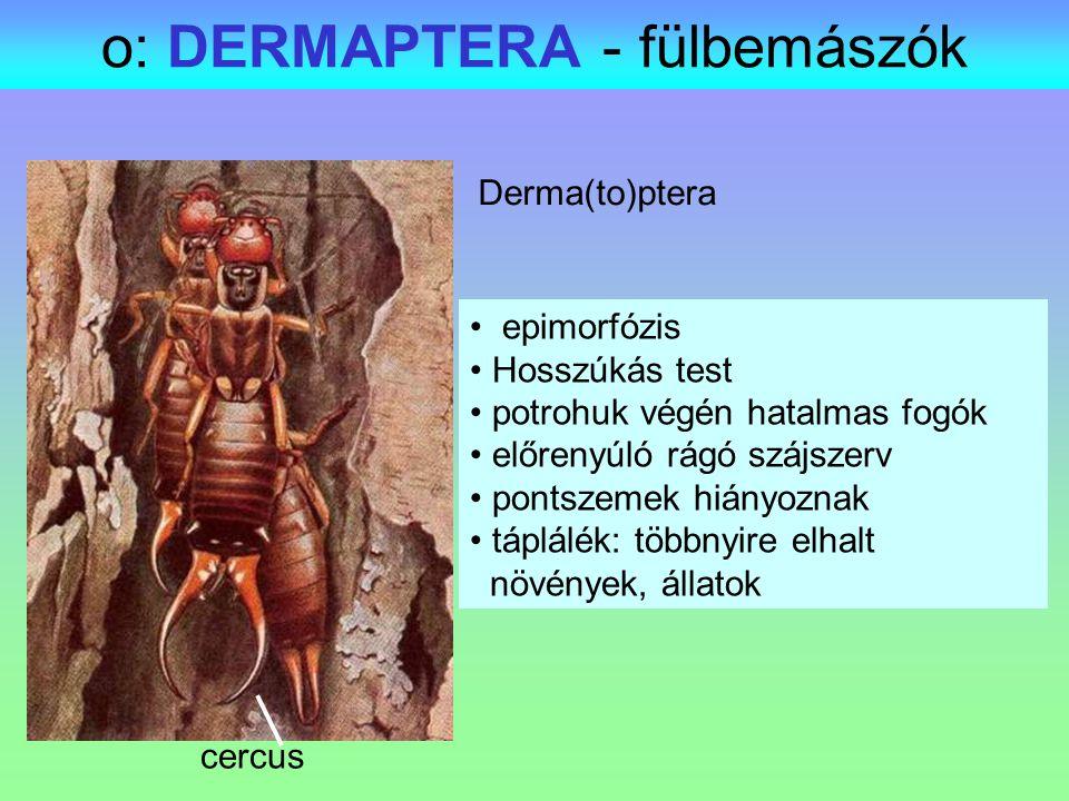 o: DERMAPTERA - fülbemászók Derma(to)ptera epimorfózis Hosszúkás test potrohuk végén hatalmas fogók előrenyúló rágó szájszerv pontszemek hiányoznak tá