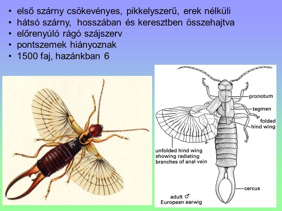 első szárny csökevényes, pikkelyszerű, erek nélküli hátsó szárny, hosszában és keresztben összehajtva előrenyúló rágó szájszerv pontszemek hiányoznak