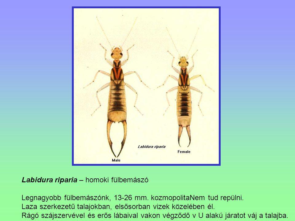 Labidura riparia – homoki fülbemászó Legnagyobb fülbemászónk, 13-26 mm. kozmopolitaNem tud repülni. Laza szerkezetű talajokban, elsősorban vizek közel