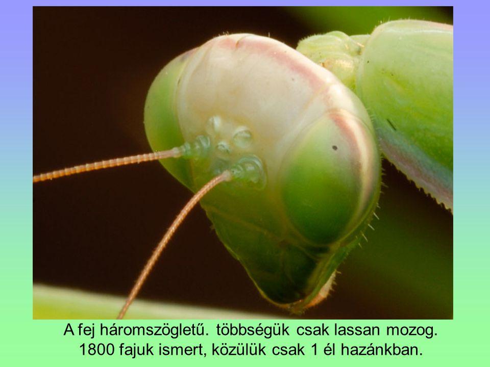 A fej háromszögletű. többségük csak lassan mozog. 1800 fajuk ismert, közülük csak 1 él hazánkban.