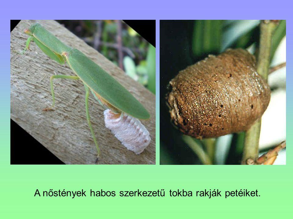 A nőstények habos szerkezetű tokba rakják petéiket.