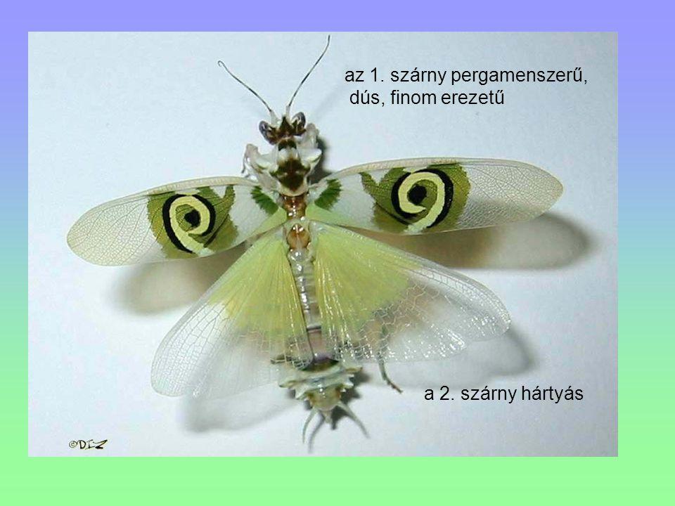 a 2. szárny hártyás az 1. szárny pergamenszerű, dús, finom erezetű